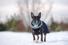 Αγγλικό σκυλί τεριέ ταύρων στα ενδύματα που θέτουν υπαίθρια το χειμώνα Στοκ Εικόνες