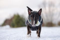 Αγγλικό σκυλί τεριέ ταύρων στα ενδύματα που θέτουν υπαίθρια το χειμώνα Στοκ Φωτογραφία