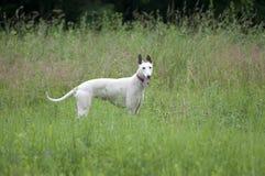 αγγλικό greyhound πορτρέτο στοκ φωτογραφία