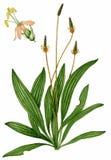 αγγλικό plantain plantago lanceolata Στοκ Εικόνα