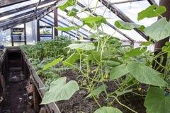 Αγγούρια σποροφύτων Η καλλιέργεια των αγγουριών στα θερμοκήπια Στοκ φωτογραφίες με δικαίωμα ελεύθερης χρήσης