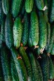 Αγγούρια Συγκομιδή αγγουριών πολλά πράσινα αγγούρια Υπόβαθρο αγγουριών Στοκ φωτογραφία με δικαίωμα ελεύθερης χρήσης