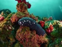 Αγγούρι θάλασσας Στοκ φωτογραφίες με δικαίωμα ελεύθερης χρήσης