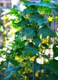 Αγγούρι, φυτό, φύλλα Στοκ φωτογραφία με δικαίωμα ελεύθερης χρήσης