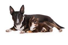 Αγγλικά σκυλί τεριέ ταύρων και κουτάβι chihuahua Στοκ εικόνα με δικαίωμα ελεύθερης χρήσης