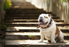 Αγγλική συνεδρίαση μπουλντόγκ σκυλιών στα βήματα γρανίτη στον ήλιο Στοκ Εικόνες