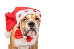 Αγγλικό κουτάβι μπουλντόγκ, έννοια Χριστουγέννων Στοκ φωτογραφία με δικαίωμα ελεύθερης χρήσης