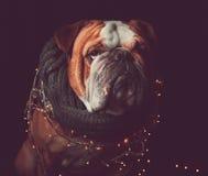 Αγγλικό μπουλντόγκ με τα φω'τα Χριστουγέννων Στοκ Εικόνες