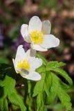 Αγγλικό ξύλινο anemone Στοκ φωτογραφία με δικαίωμα ελεύθερης χρήσης