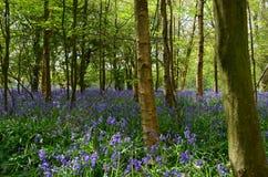 Αγγλικό ξύλο bluebell την άνοιξη. Στοκ Φωτογραφίες