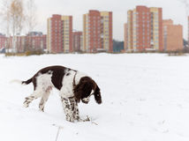 Αγγλικό σκυλί κουταβιών σπανιέλ αλτών Στοκ Εικόνα