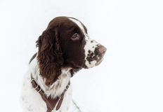 Αγγλικό σκυλί κουταβιών σπανιέλ αλτών Στοκ εικόνες με δικαίωμα ελεύθερης χρήσης