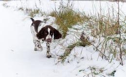 Αγγλικό σκυλί κουταβιών σπανιέλ αλτών Στοκ Εικόνες