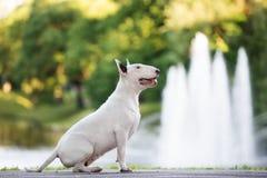 Αγγλικό σκυλί τεριέ ταύρων που θέτει υπαίθρια Στοκ εικόνες με δικαίωμα ελεύθερης χρήσης