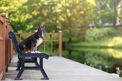 Αγγλικό σκυλί τεριέ ταύρων που θέτει υπαίθρια Στοκ εικόνα με δικαίωμα ελεύθερης χρήσης