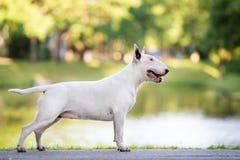 Αγγλικό σκυλί τεριέ ταύρων που θέτει υπαίθρια Στοκ φωτογραφία με δικαίωμα ελεύθερης χρήσης