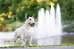 Αγγλικό σκυλί τεριέ ταύρων που θέτει υπαίθρια Στοκ Εικόνες