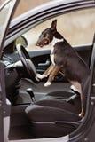 Αγγλικό σκυλί τεριέ ταύρων σε ένα αυτοκίνητο Στοκ φωτογραφία με δικαίωμα ελεύθερης χρήσης