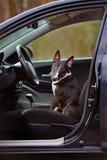 Αγγλικό σκυλί τεριέ ταύρων σε ένα αυτοκίνητο Στοκ εικόνα με δικαίωμα ελεύθερης χρήσης