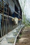 αγελάδα απομονωμένη Στοκ φωτογραφία με δικαίωμα ελεύθερης χρήσης