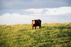 Αγελάδα από τα fileds Στοκ φωτογραφίες με δικαίωμα ελεύθερης χρήσης