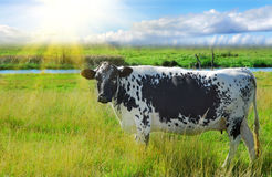 αγελάδα αστεία Στοκ φωτογραφία με δικαίωμα ελεύθερης χρήσης