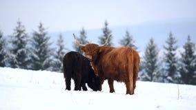 Αγελάδα βοοειδών ορεινών περιοχών στο χιονώδες λιβάδι φιλμ μικρού μήκους