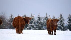Αγελάδα βοοειδών ορεινών περιοχών στο χιονώδες λιβάδι απόθεμα βίντεο