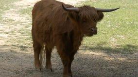 Αγελάδα βοοειδών ορεινών περιοχών απόθεμα βίντεο