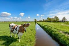 Αγελάδα δίπλα σε μια τάφρο στο πόλντερ κοντά στο Ρότερνταμ, Κάτω Χώρες στοκ εικόνες