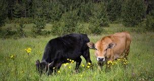 αγελάδα δύο Στοκ Εικόνες