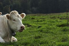 αγελάδα Ελβετός Στοκ φωτογραφία με δικαίωμα ελεύθερης χρήσης