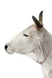 αγελάδα ιερή Στοκ φωτογραφία με δικαίωμα ελεύθερης χρήσης