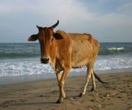 αγελάδα ιερή Στοκ Φωτογραφίες