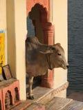 αγελάδα ιερή Στοκ εικόνες με δικαίωμα ελεύθερης χρήσης