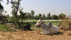 Αγελάδα και ανθίζοντας όπιο στοκ εικόνες