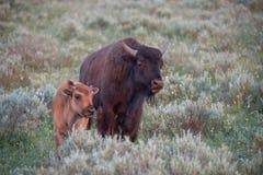 Αγελάδα και μόσχος Buffalo στοκ εικόνα