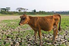 Αγελάδα και ραγισμένη γη Στοκ φωτογραφία με δικαίωμα ελεύθερης χρήσης