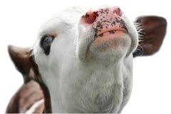 αγελάδα λίγο πορτρέτο Στοκ φωτογραφία με δικαίωμα ελεύθερης χρήσης