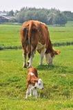 αγελάδα μόσχων Στοκ Εικόνες