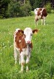 αγελάδα μόσχων Στοκ Εικόνα