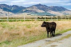 Αγελάδα, Νέα Ζηλανδία Στοκ Εικόνα