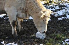αγελάδα ομάδων δεδομένω&n Στοκ Φωτογραφίες