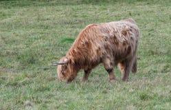 Αγελάδα ορεινών περιοχών που τρώει τη χλόη στοκ φωτογραφία