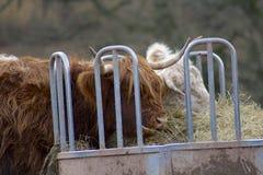 Αγελάδα ορεινών περιοχών που τρώει το σανό στοκ εικόνα