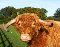 Αγελάδα ορεινών περιοχών σε ένα πράσινο πεδίο χλόης Στοκ φωτογραφίες με δικαίωμα ελεύθερης χρήσης