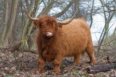 Αγελάδα ορεινών περιοχών στενή στοκ εικόνα με δικαίωμα ελεύθερης χρήσης