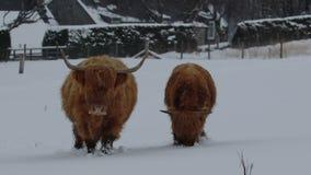 Αγελάδα ορεινών περιοχών, bos taurus, γουργούρισμα, βοοειδή, νέο και θηλυκό να προμηθεύσει με ζωοτροφές στο χιονισμένο τομέα μέσα απόθεμα βίντεο