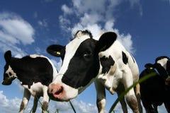 αγελάδα περίεργη Στοκ Εικόνες