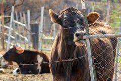 Αγελάδα που κολλά έξω τη γλώσσα που γλείφει τον πόλο Στοκ Εικόνες